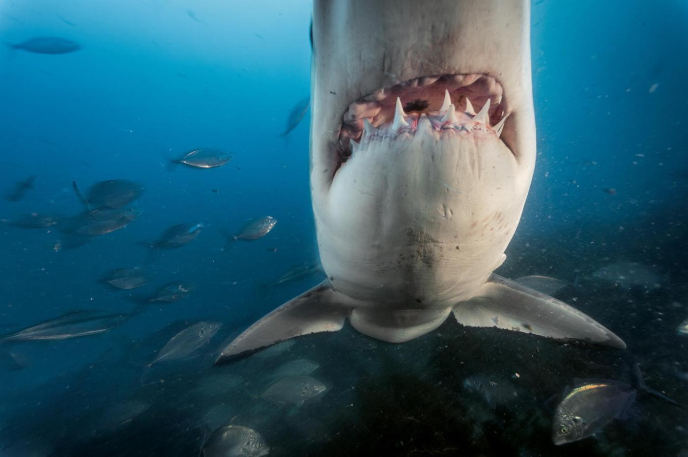 Tiburon-Permanencias-Voluntarias