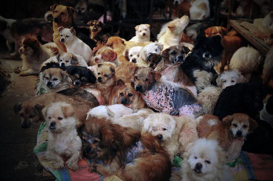 Perros-China-Permanencias-Voluntarias